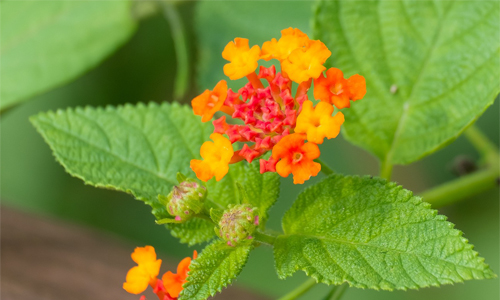 Lantana for hanging basket in full sun