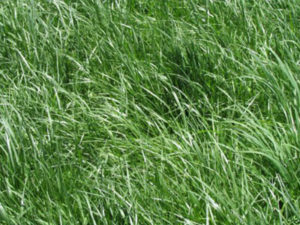 Kentucky 31 Tall Fescue Grass Seed