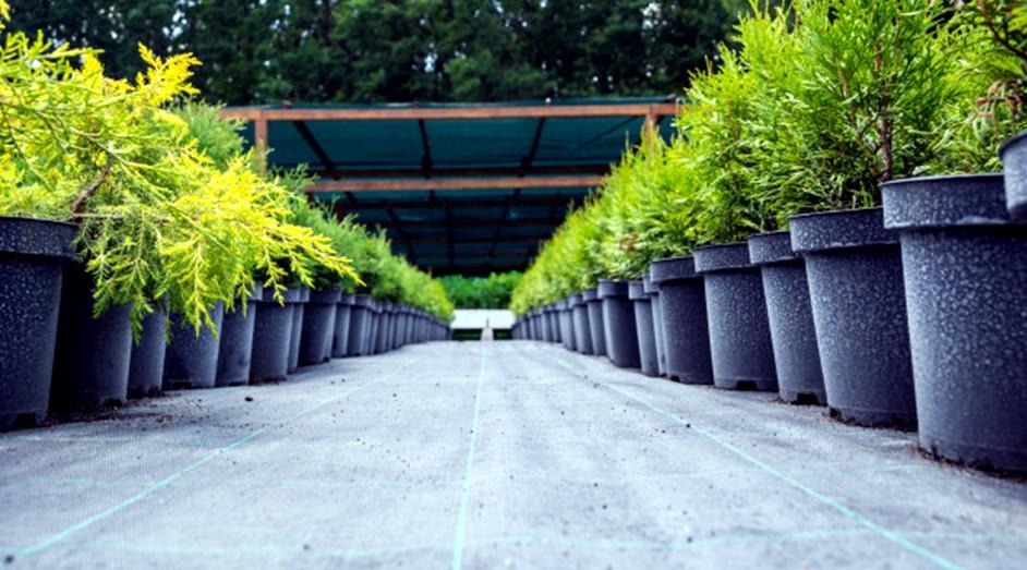 Grow Thuja