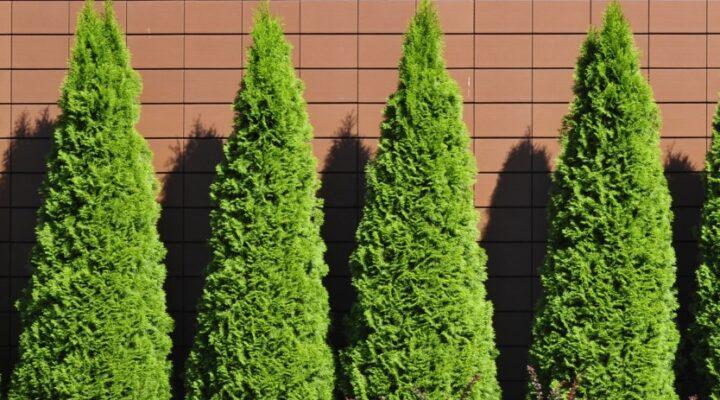 Thuja Green Giant Hedge