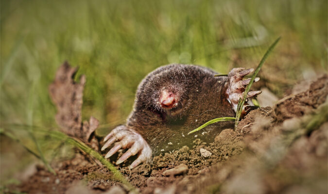 5 Pesky Signs Your Yard Has Become Home to Garden Moles