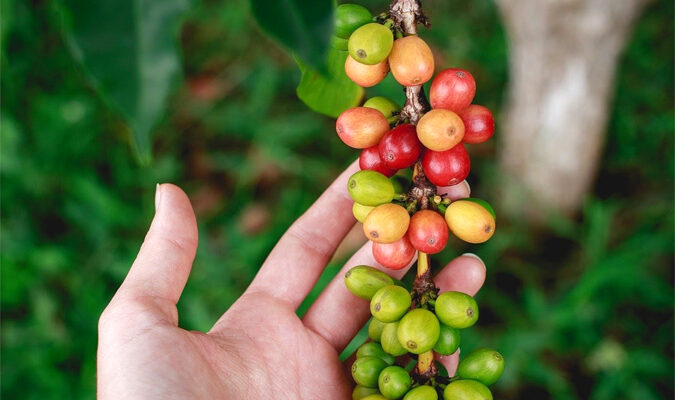 What is Organic Coffee? – A Beginner's Guide