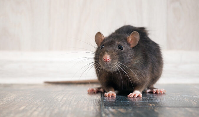Mice and Rat Removal: 5 Tried and True Methods That Work