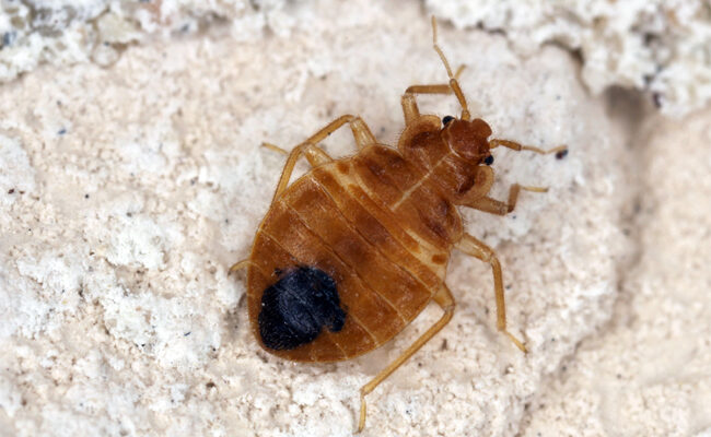 The Different Types of Bed Bugs Found in Homes
