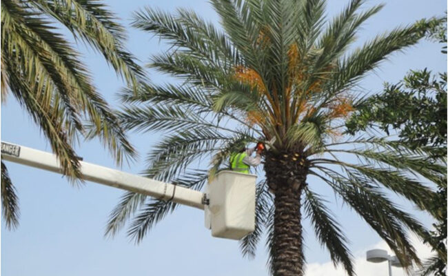 Palm Tree Removal Cost (Hiring a Pro Service)