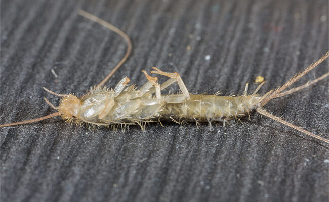 Going Fishing?: A Homeowner's Guide on How to Get Rid of Silverfish