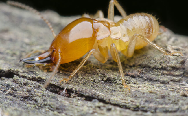 What Are the Different Types of Termites Found in Homes?