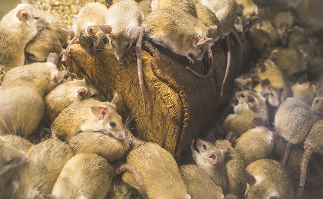 Are You Dealing With Rodent Problems the Wrong Way?